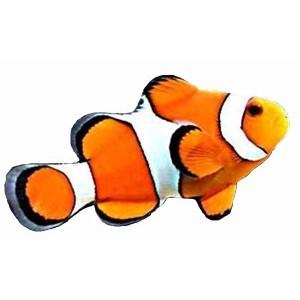 Imãs de Geladeira - Peixe Palhaço