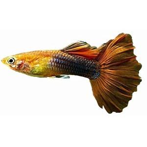 Imãs de Geladeira - Peixe Lebiste Amarelo