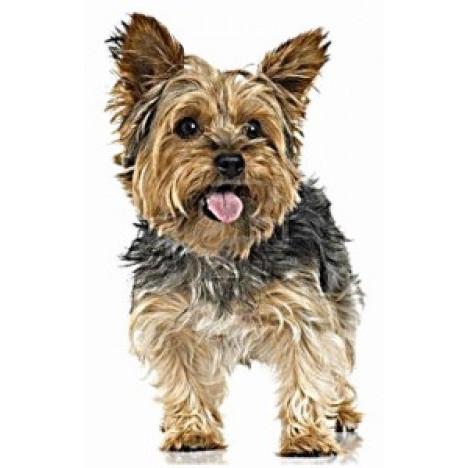 Imãs de Geladeira - Cachorro Yorkshire